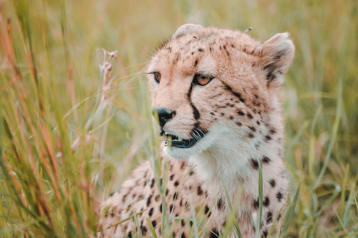 Tag 8 - Gesellige Geparden 8