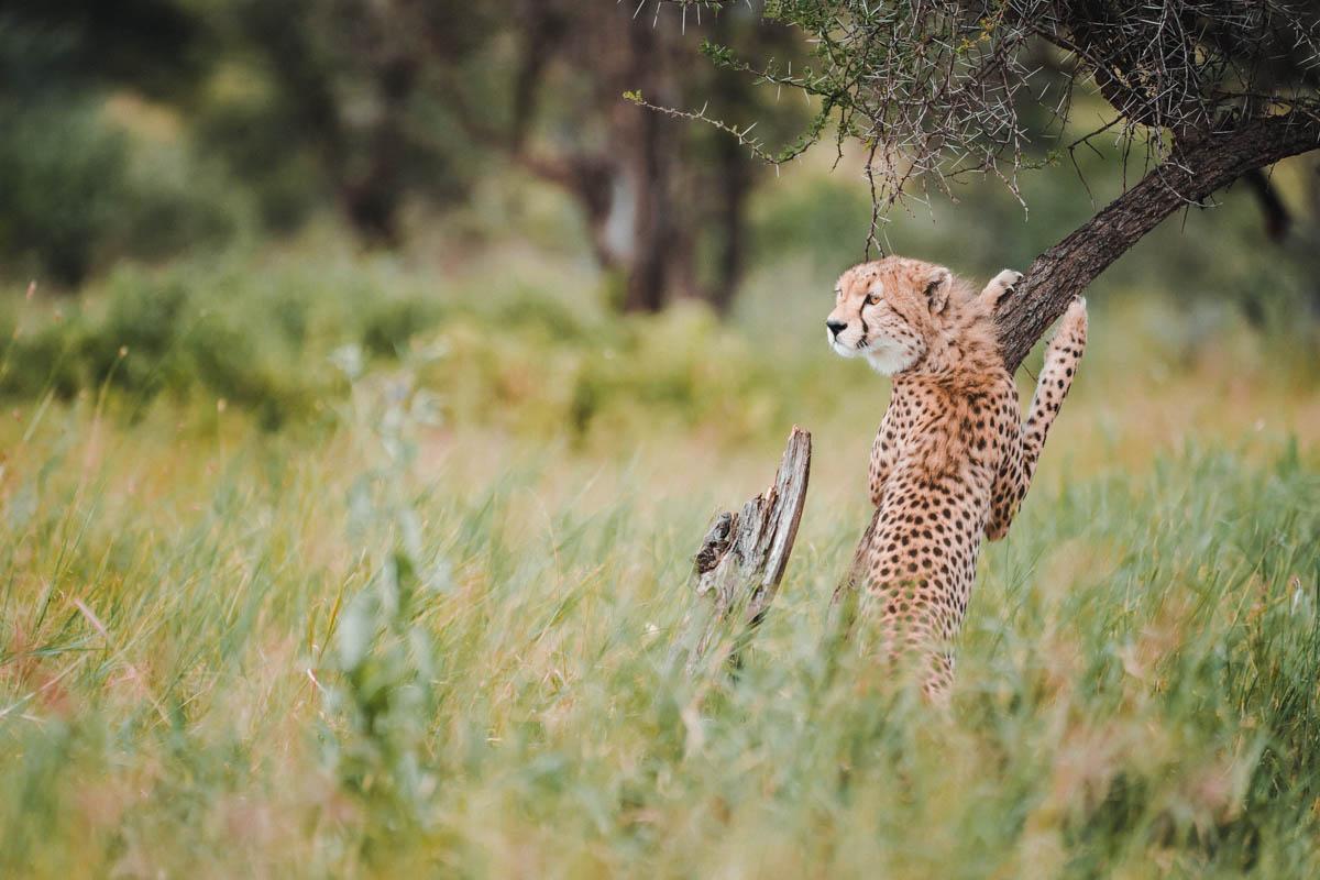 Tag 8 - Gesellige Geparden 6