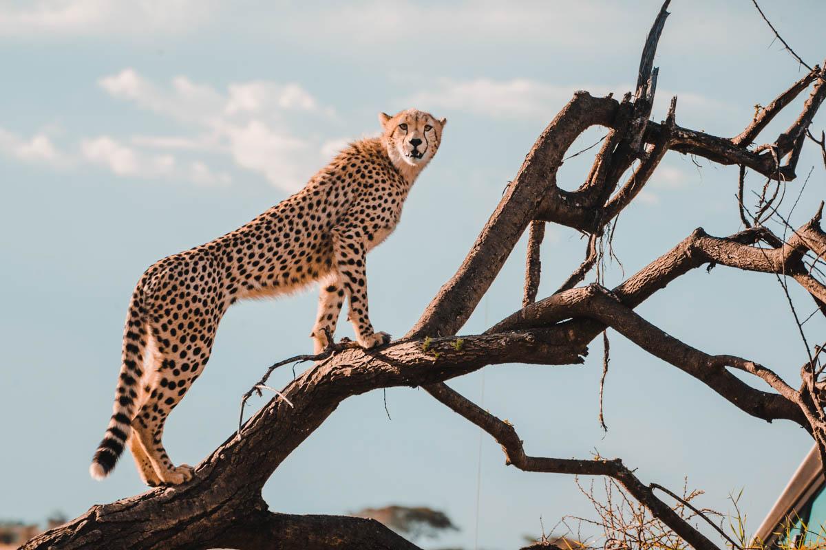 Tag 8 - Gesellige Geparden 7