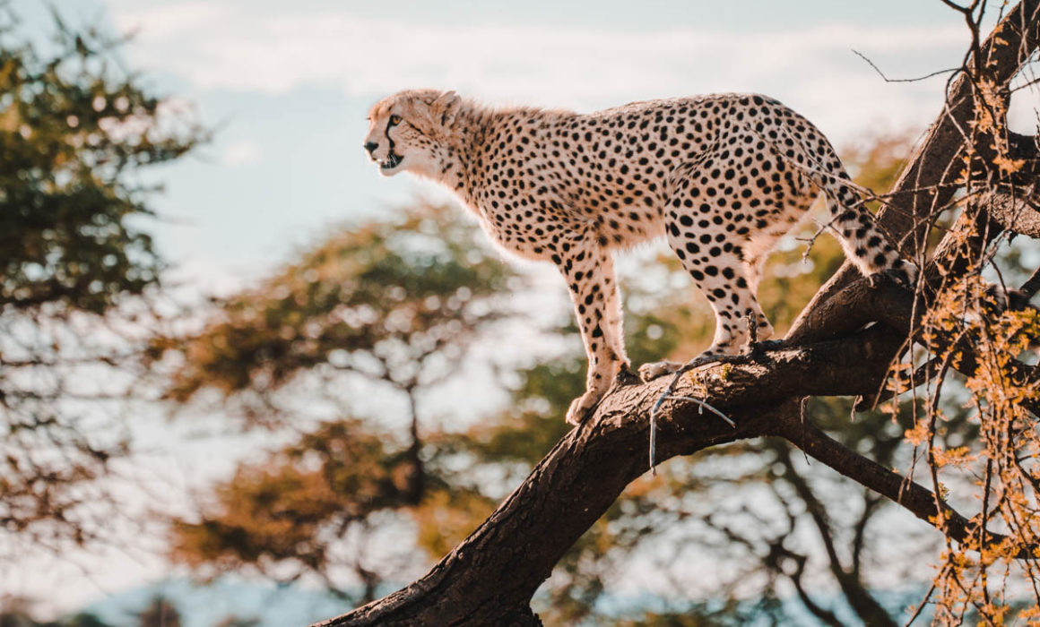 Tag 8 - Gesellige Geparden 1