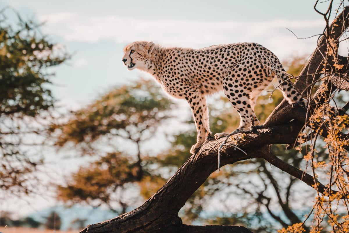 Tag 8 – Gesellige Geparden