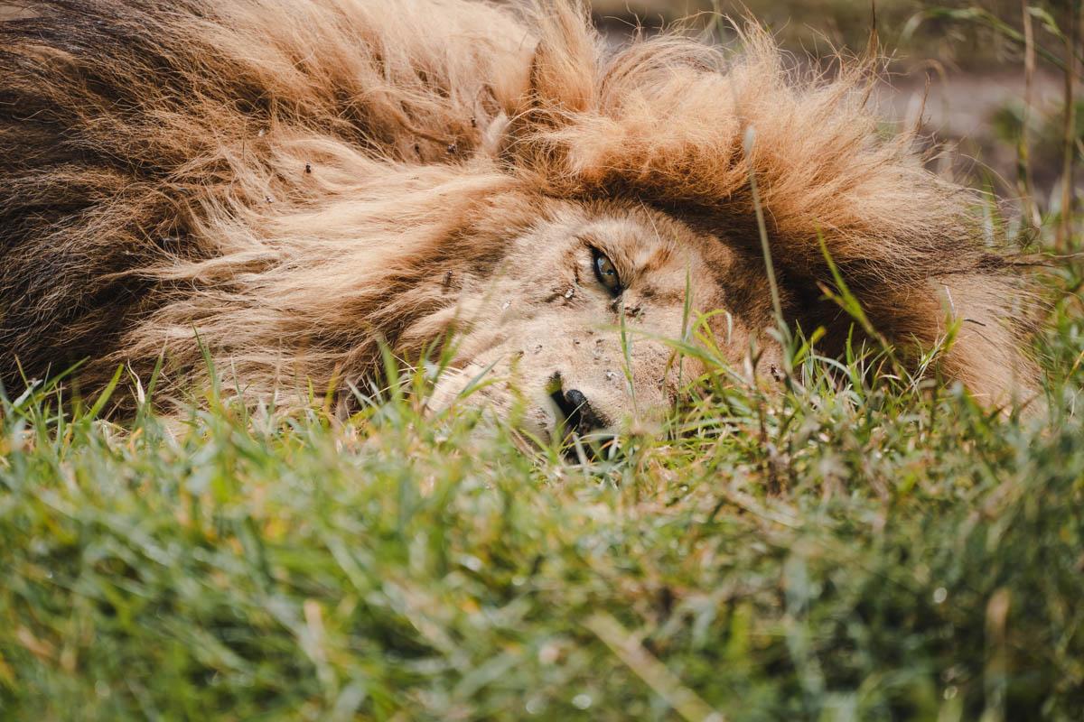 Tag 9 - Schläfrige Löwen 8