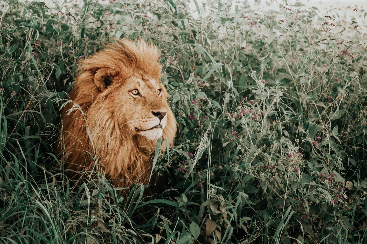 Tag 9 – Schläfrige Löwen in der Serengeti